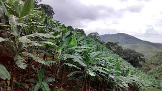 Os desafios estruturais da Bananicultura Brasileira