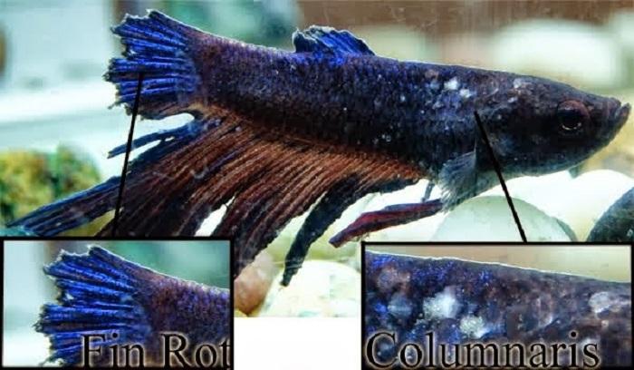 Jamur Kulit atau Kolumnaris pada Ikan Cupang, Penyebab, Gejala dan Cara Mengobatinya
