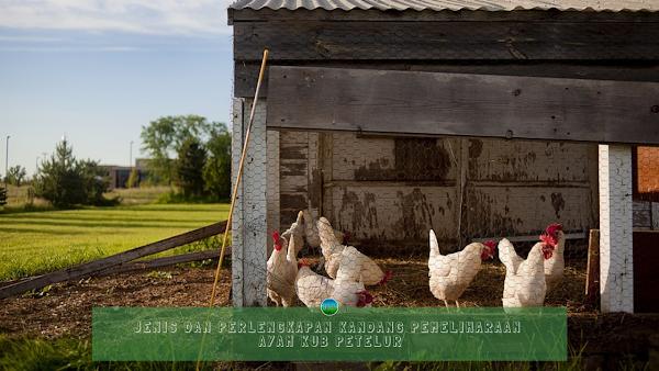 Jenis dan Perlengkapan Kandang Pemeliharaan Ayam KUB Petelur