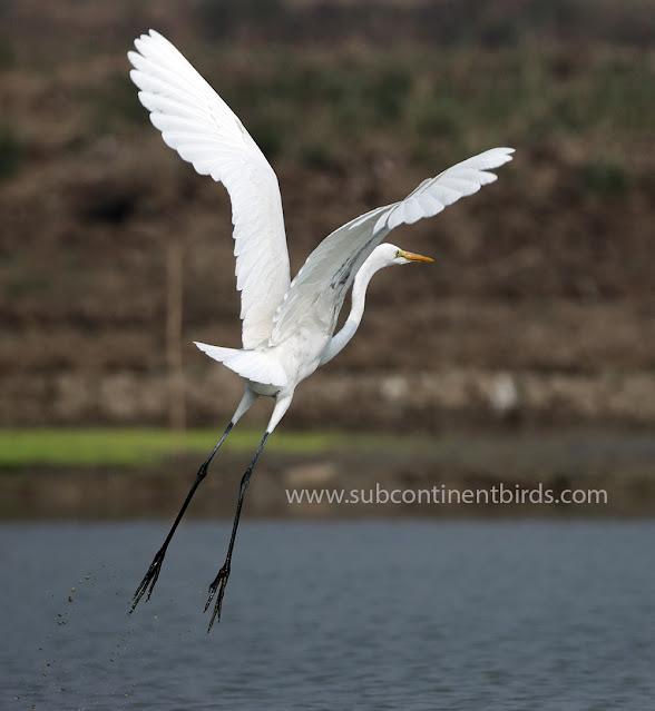 great egret bird on flight