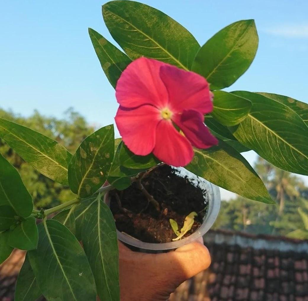 Bibit Bunga Vinca Murah Sumatra Utara