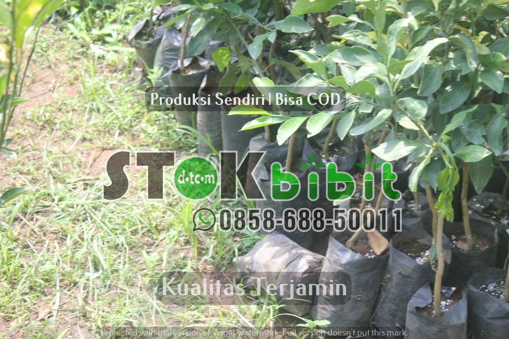 Bibit Lada Perdu ke Sumatra      Berkwalitas     Unggul
