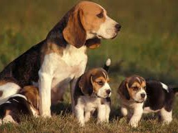 Información del perro Beagle