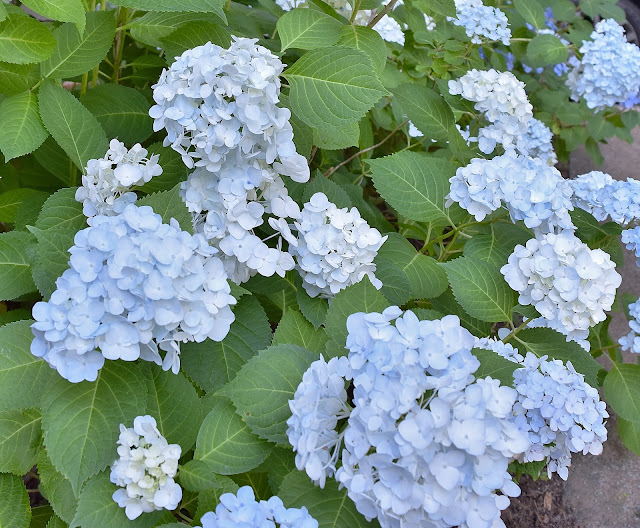 Don T Disturb This Groove Buying Hydrangeas On Clearance