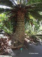 Encephalartos hildebrandii, Foster Botanical Garden - Honolulu, HI