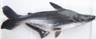 13 Khasiat Ikan Patin Untuk Kesehatan