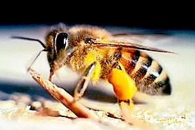 https://fr.wikipedia.org/wiki/Abeille