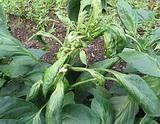 Khắc phục hiện tượng cây ớt chỉ thiên bị rụng lá non, lá đọt bị xoăn lại.