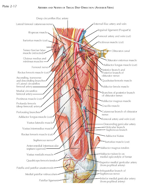 ARTERIES AND NERVES OF THIGH: DEEP DISSECTION (ANTERIOR VIEW)