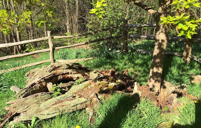 The original Wilberforce Oak, near Keston.  4 May 2016.