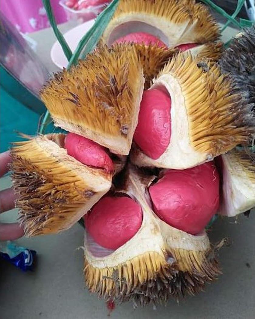 Bibit Durian Merah Kaki Tiga Palembang