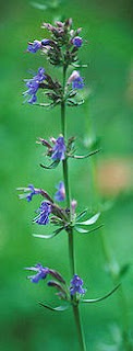Herb of the Day: Hyssop - Golden Triangle Circle (Beaumont