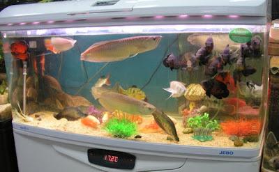 Cara Merawat Ikan Arwana di dalam aquarium