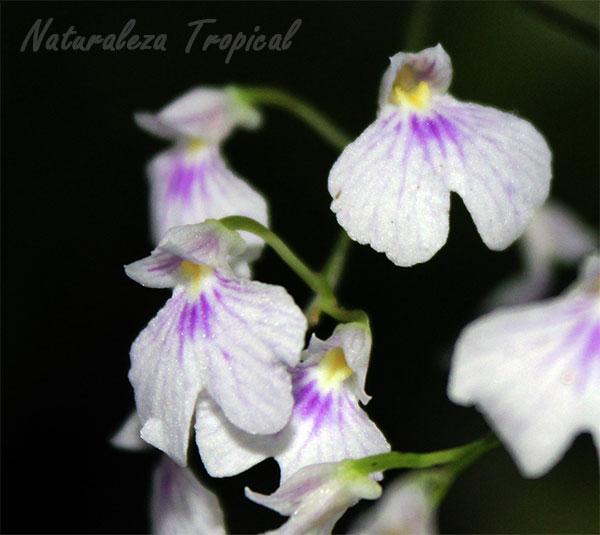 La orquídea Ionopsis utricularioides