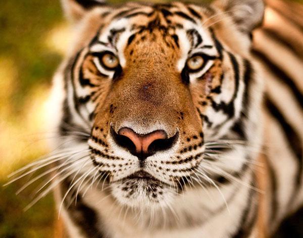 tiger ka photo dikhao tiger ka photo hd