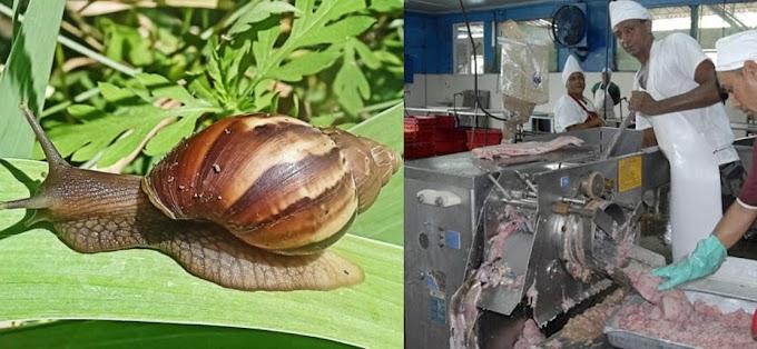 Reaparece el caracol africano, ahora en forma de picadillo
