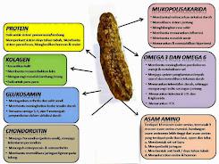 khasiat teripang emas