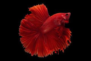 ikan cupang halfmoon super red