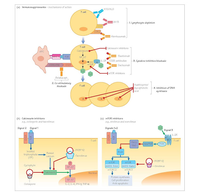 T Cell-Targeted Immunosuppression, Lymphocyte depletion, Disruption of T cell activation by co-stimulatory blockade, Cytokine blockade, Inhibition of cytokine synthesis, Inhibition of IL-2 receptor binding, Inhibition of DNA synthesis,