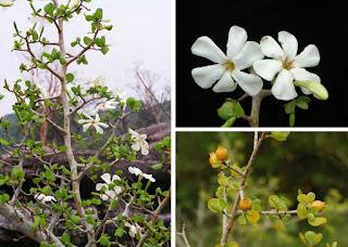 พุดผา (ปัดหิน) ดอกพุดพื้นเมืองของไทย บอนไซ ไม้แคระ ดอกสีขาว มีกลิ่นหอม