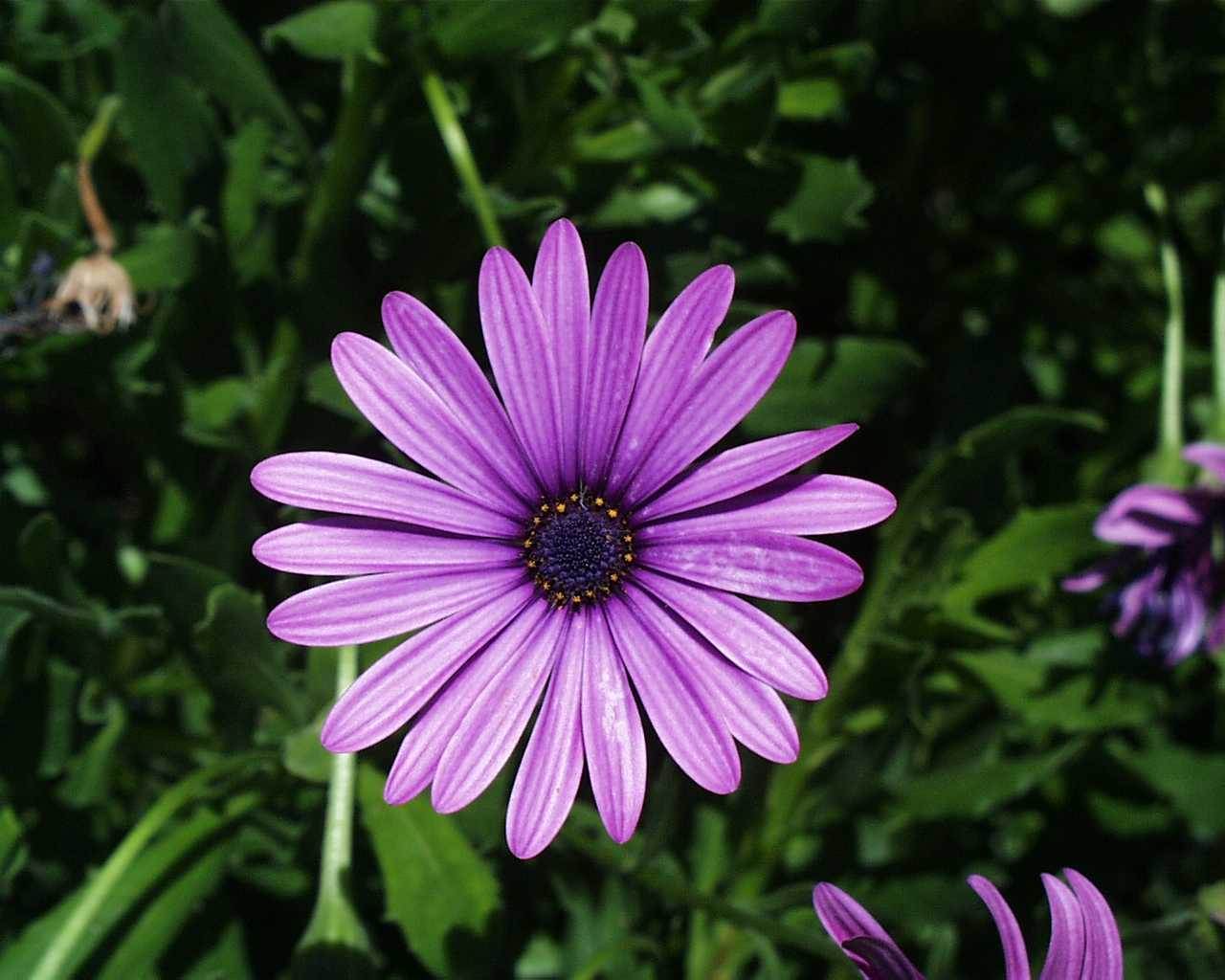flowers for flower lovers.: Daisy flowers pictures.