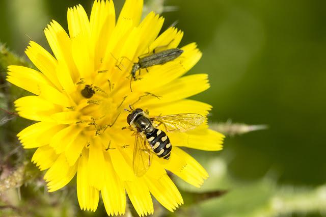 Eupeodes Corollae (I think)