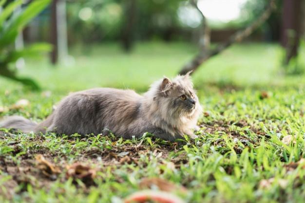 Siberian Cat Breeds