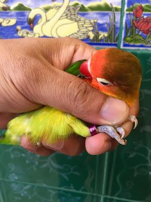 Ring Lovebird Eropa