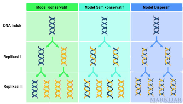 Gambar 3 Model Replikasi DNA