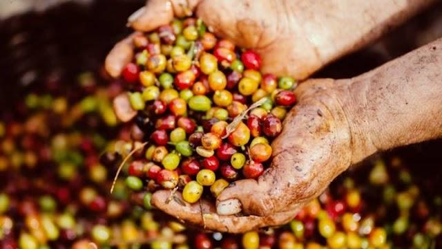 Giá cà phê hôm nay 30/4: Bất ngờ quay đầu giảm 300 đồng/kg