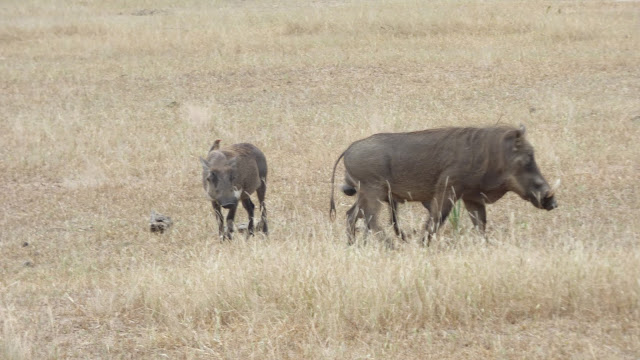 An adult and baby warthog - Liwonde National Park