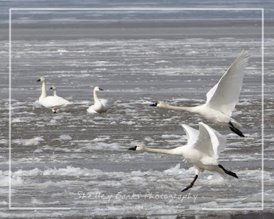 Tundra Swans. Copyright © Shelley Banks, all rights reserved.