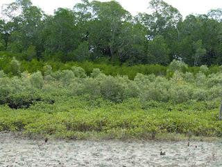 Mangrove fringe, Port Musgrave