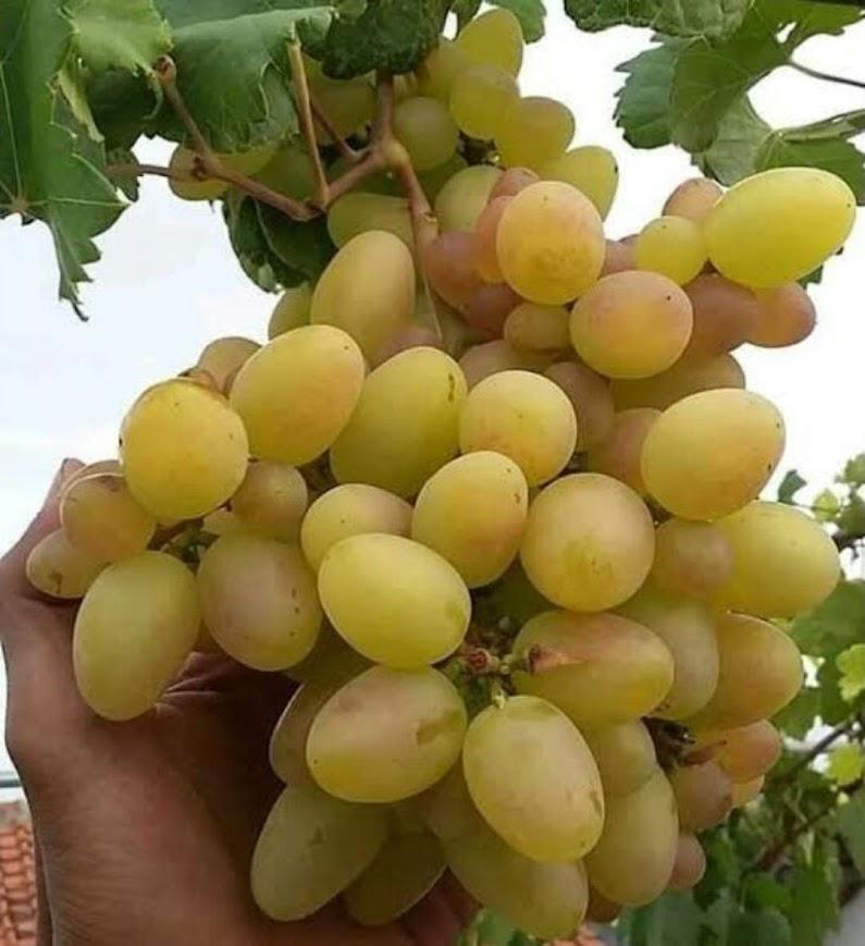 bibit anggur import transfiguration harga promo Sumatra Barat