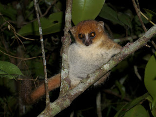 Pygmy Mouse Lemur known as peters