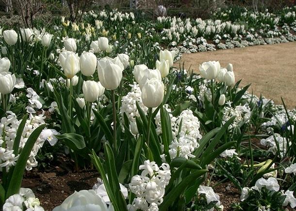 Белый цветник из первоцветов