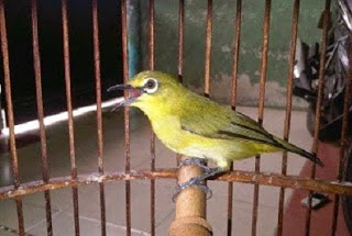 cara merawat burung, kicau, supaya cepat gacor,