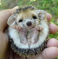 hedgehog cute toes smiling
