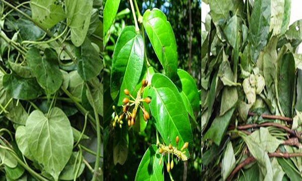 Difference Between Okazi(Ukazi),Utazi, and Uziza leaves