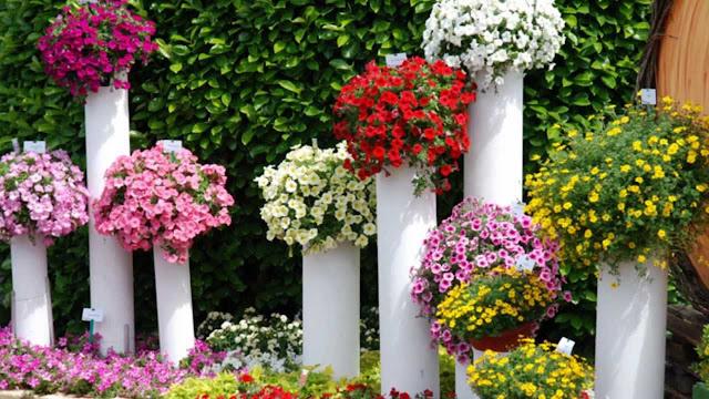 PETÚNIA - Adapta-se muito bem a canteiros, vasos, jardineiras, cercas e forrações, que podem embelezar ao ar livre jardins residenciais, assim como praças e parques públicos, além de salas, escritórios, entre outros locais.  A maioria das petúnias é híbrida, com altura entre 15 e 30 centímetros, de acordo com o tamanho do vaso.