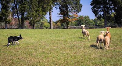 Anjing Bearded Collie menggiring ternak kembali masuk kawanan