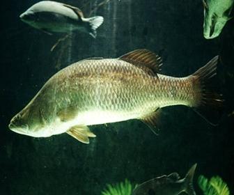 Kakap Putih atau Asian Sea Bass