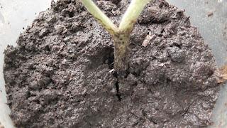 Срезанные и укорененные верхушки помидоров дали корешки через пять дней