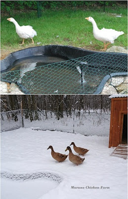 building a waterfowl coop