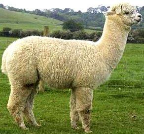 Foto de alpaca de perfil - animal con A
