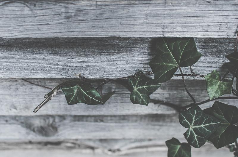 murgröna, trädgård