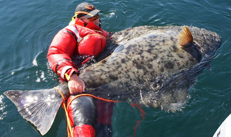 سمكة الهلبوت الماء البارد يصل حجمه إلى 1.5