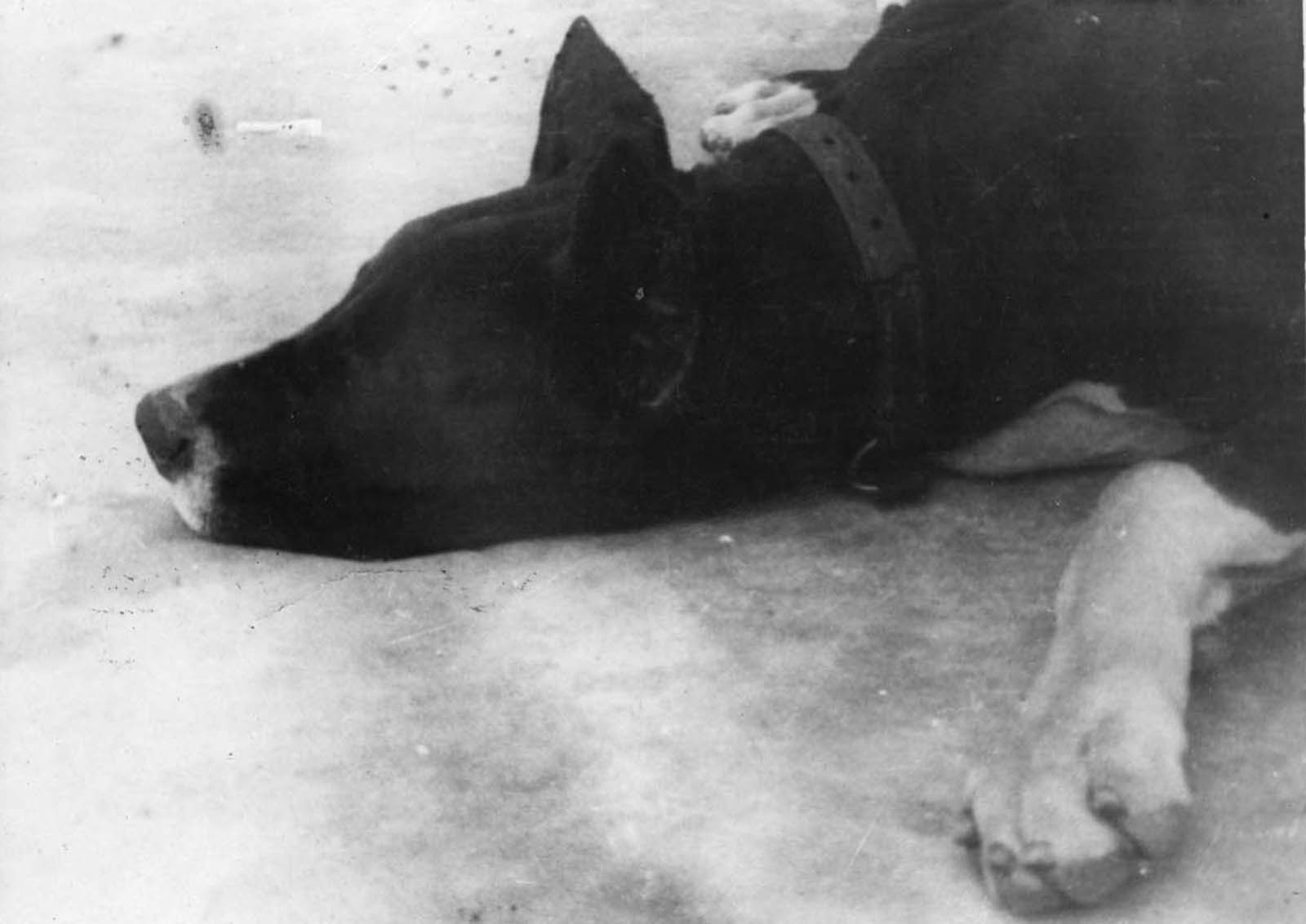 One of Goeth's dog. His two dogs, Rolf and Ralf, were trained to tear inmates to death.