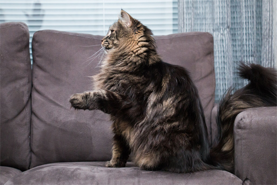Kissa tekee temppua sohvalla