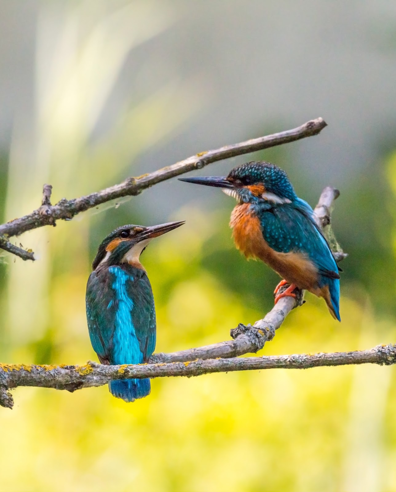 Picture of a male and female kingfisher.